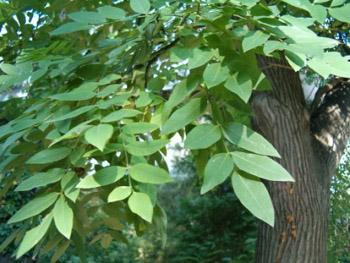 Acacia storia leggende tradizioni e linguaggio dei for Acacia albero