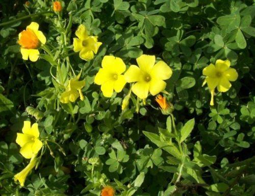 Acetosella, linguaggio dei fiori