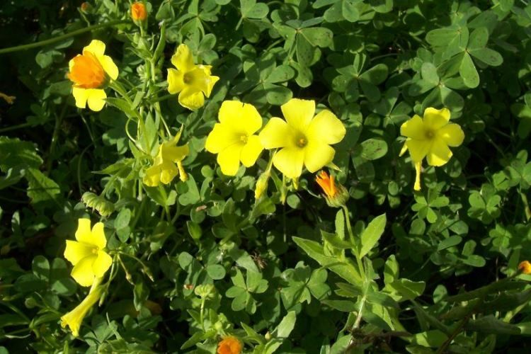 Acetosella dai fiori gialli
