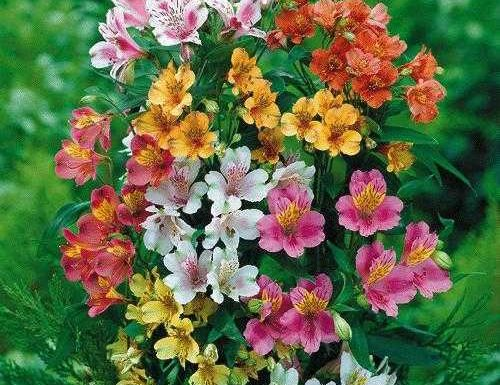 Alstroemeria, linguaggio dei fiori
