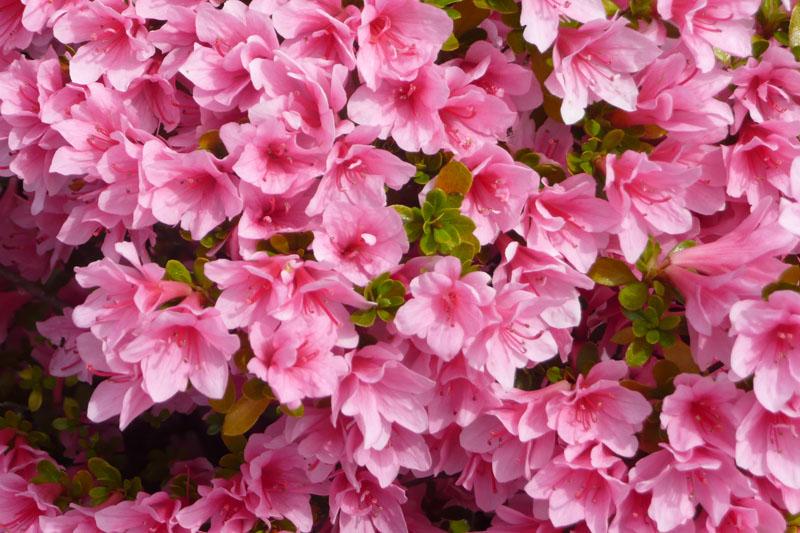 Azalea storia e linguaggio dei fiori il giardino del tempo - Azalee da esterno ...