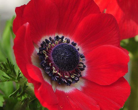 Anemone: storia, miti e linguaggio dei fiori