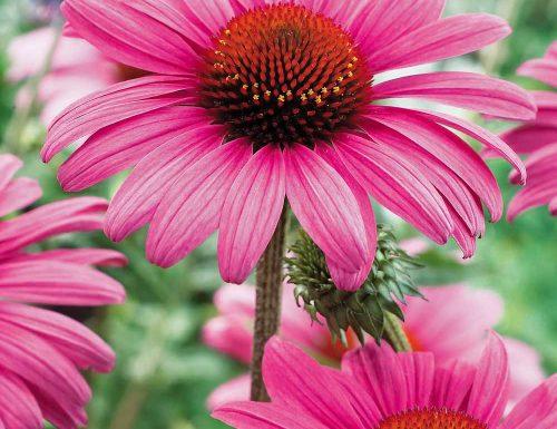 Echinacea, storia e linguaggio dei fiori