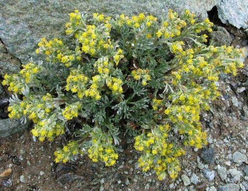 Artemisia: storia, leggende, usi e linguaggio dei fiori