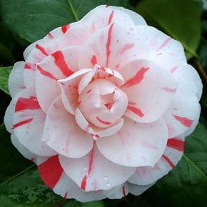 Rosa del Giappone