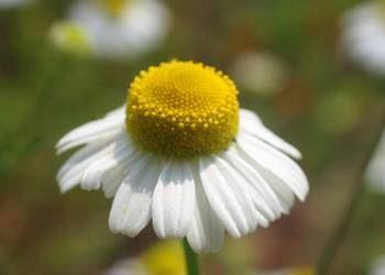 Camomilla: storia, tradizione, usi e linguaggio dei fiori