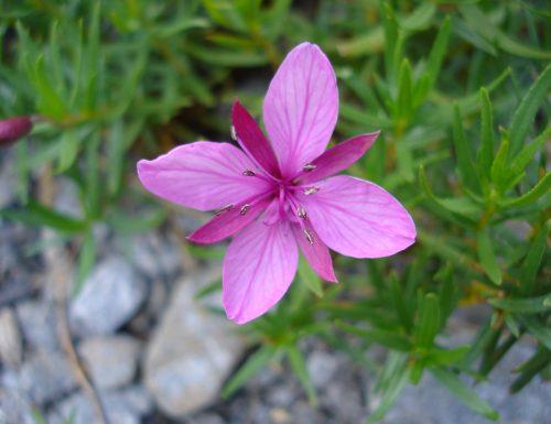 Epilobio, linguaggio dei fiori