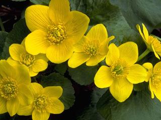 Caltha palustre, linguaggio dei fiori