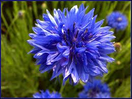 Fiordaliso: miti, leggende e linguaggio dei fiori
