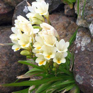 Fresia, linguaggio dei fiori