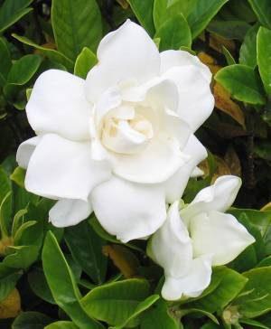Gardenia: storia e linguaggio dei fiori