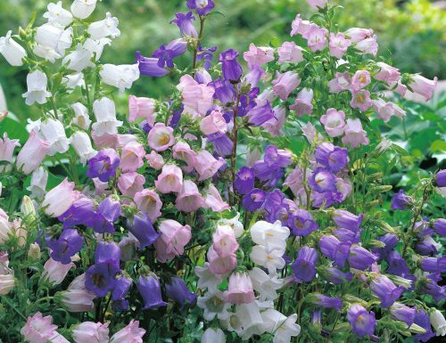 Campanula: storia e linguaggio dei fiori
