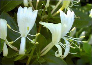 Caprifoglio: storia, letteratura, curiosità e linguaggio dei fiori