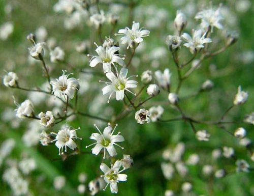Gypsophila paniculata (Velo da sposa), linguaggio dei fiori