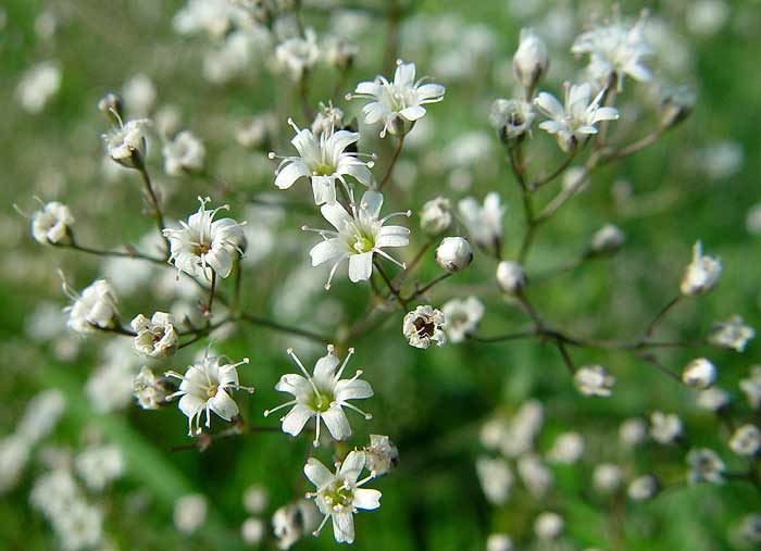 Gypsophila paniculata (velo da sposa)