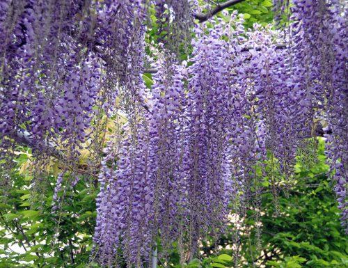 Glicine: storia, leggende e linguaggio dei fiori