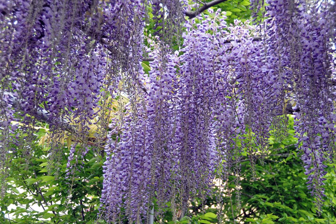 Flash sul mondo di tutto di pi il glicine il fiore for Pianta ornamentale con fiori a grappolo profumatissimi