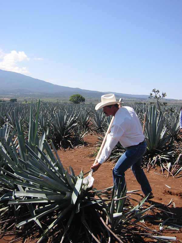 Raccolta dell'agave tequilana weber