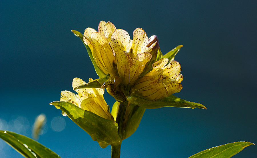 Genziana gialla
