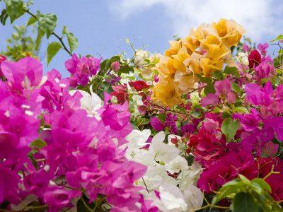 Bougainvillea, linguaggio dei fiori