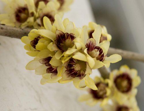 Calicanto: storia, leggende e linguaggio dei fiori
