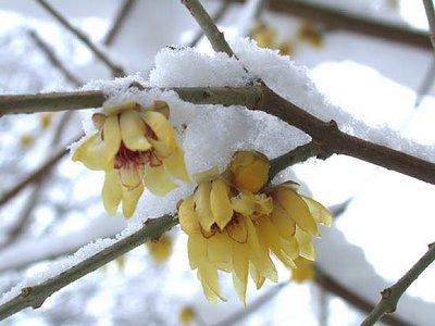 Calicanto d'inverno