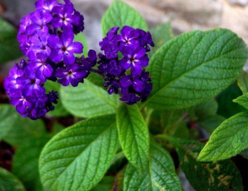 Eliotropio, linguaggio dei fiori