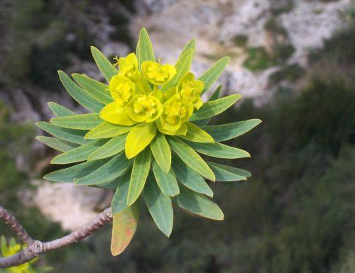 Euphorbia: storia e linguaggio dei fiori