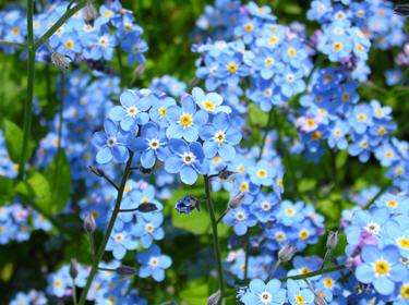 Non ti scordar di me, linguaggio dei fiori