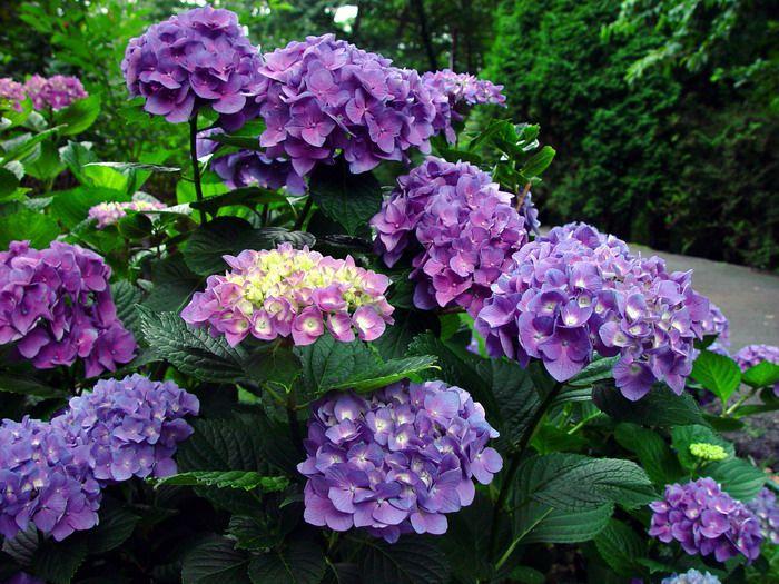 Ortensia, linguaggio dei fiori