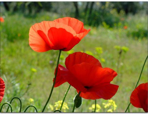 Papavero: miti, storia e linguaggio dei fiori