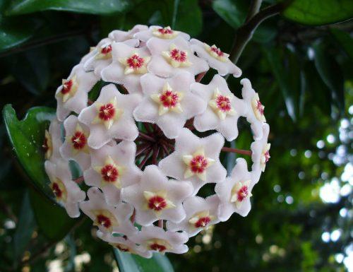 Hoya (fiore di cera), linguaggio dei fiori