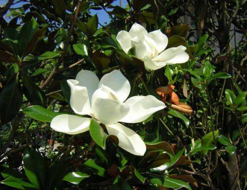 Magnolia, linguaggio dei fiori