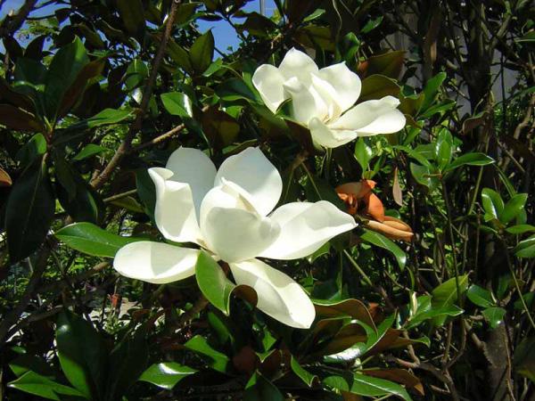Significato Fiori Bianchi.Linguaggio Dei Fiori Di Colore Bianco Il Giardino Del Tempo
