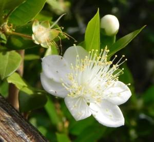 Fiore di mirto