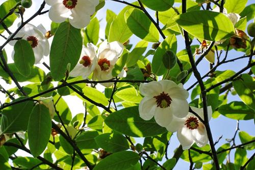 Magnolia linguaggio dei fiori il giardino del tempo for Magnolia pianta prezzi