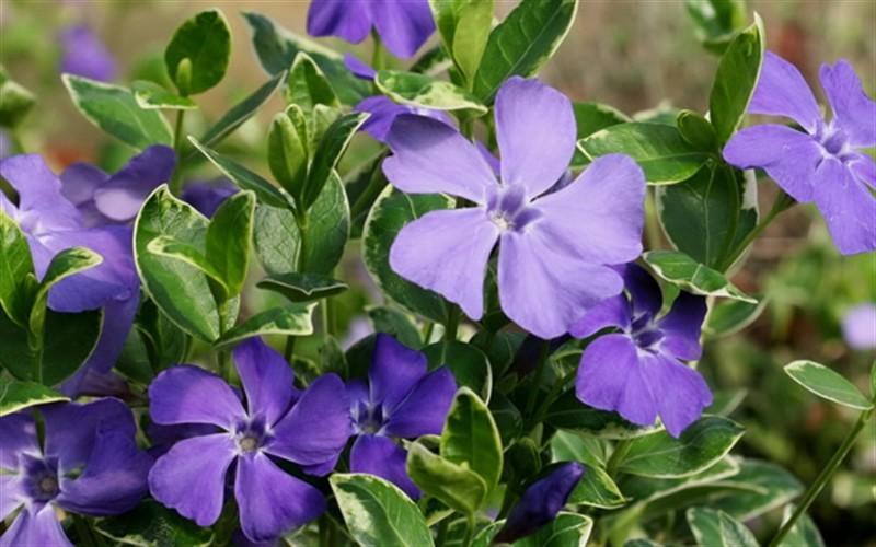 Vinca, linguaggio dei fiori