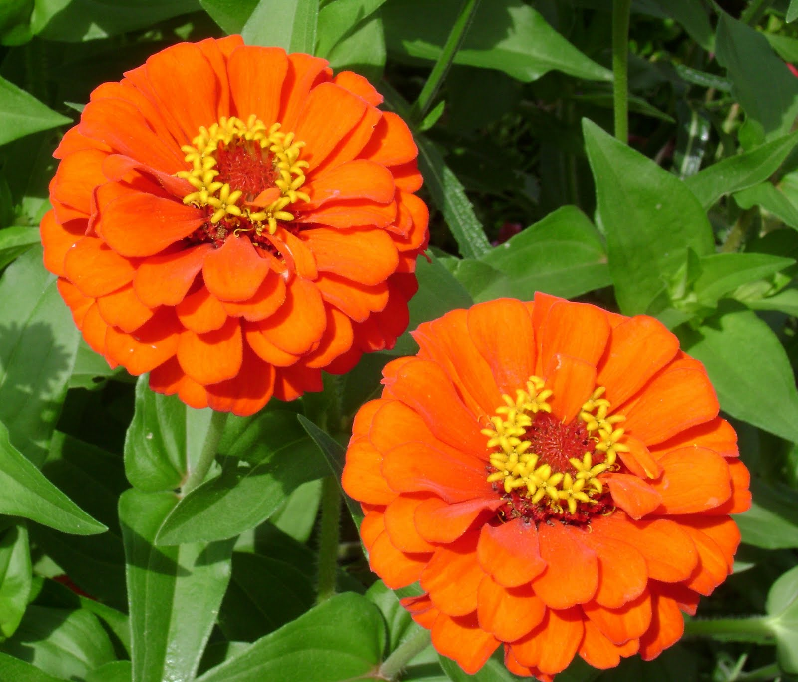 Zinnia, linguaggio dei fiori