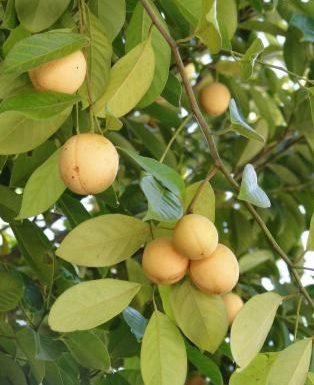 Noce moscata-Myristica fragrans, linguaggio dei fiori e curiosità