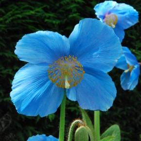 Meconopsis (papavero blu)