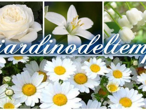 Linguaggio dei fiori di colore bianco