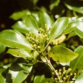 Eugenia caryophyllata