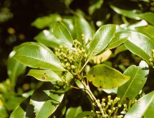 Chiodi di garofano-Eugenia caryophyllata, linguaggio dei fiori