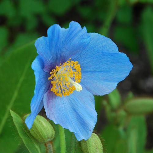 Meconopsis (papavero blu), linguaggio dei fiori