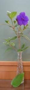 Tibouchina urvilleana (1)
