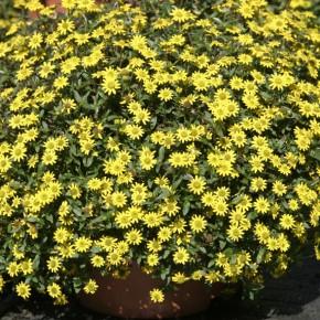 fiori gialli ricadenti
