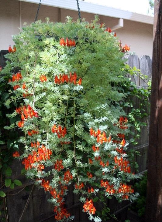 Piante ricadenti il giardino del tempo for Fiori per balconi soleggiati