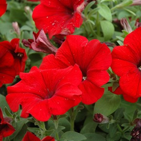 petunia rossa