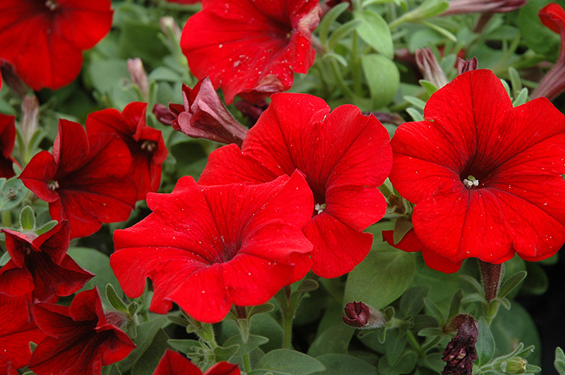 Petunia: storia, linguaggio dei fiori e curiosità