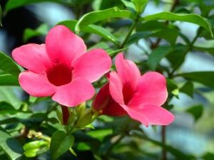 Allamanda blanchetii